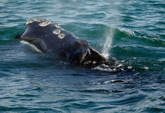 A North Atlantic right whale feeds on the surface of Cape Cod Bay off the coast of Plymouth, Mass., March 28, 2018.