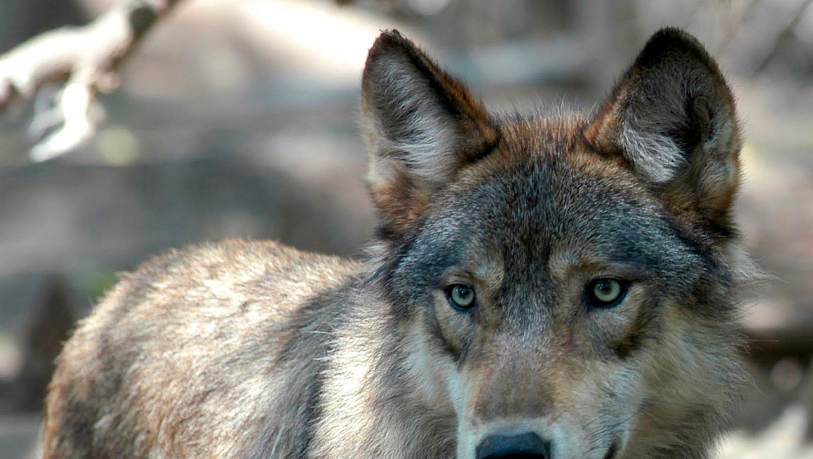 A gray wolf at the Wildlife Science Center in Forest Lake, Minn. July 16, 2004.
