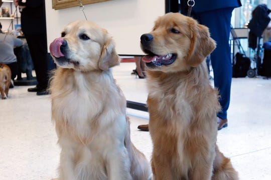 A pair of golden retrievers pose for photos at the Museum of the Dog, in New York, Wednesday, March 20, 2019. Labrador retrievers aren't letting go of their hold on U.S. dog lovers, while Golden retrievers finished third in the top ranks of doggy popularity, according to new American Kennel Club data.