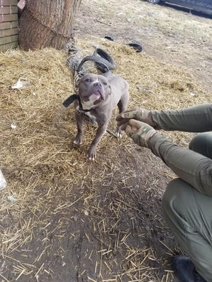 One of five Pitbulls rescued from a home in Highland Park.