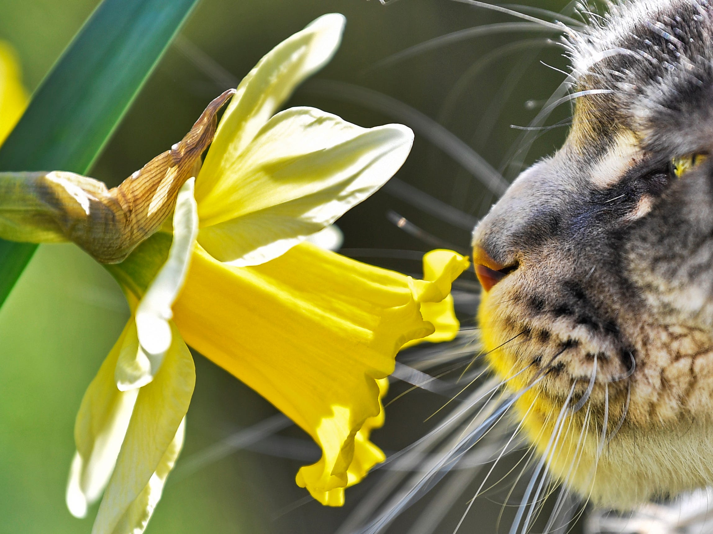 A cat smells at a flower in the warm spring sun in a garden in Gelsenkirchen, Germany, Friday, March 22, 2019.