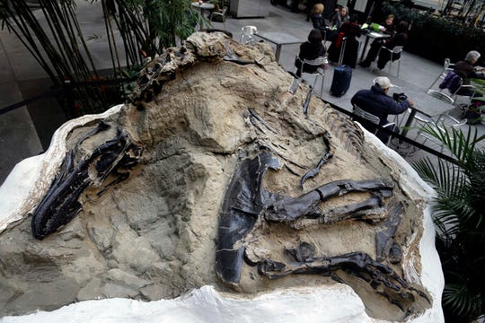 """FILE - In this Nov. 14, 2013 file photo, one of two """"dueling dinosaur"""" fossils is displayed in New York. Ownership of two fossilized dinosaur skeletons found on a Montana ranch in 2006 are the subject of a legal battle over whether they are part of a property's surface rights or mineral rights. The 2019 Montana Legislature on Friday, March 22, 2019, passed a law clarifying that fossils are part of the surface rights unless a contract says otherwise. The law does not affect the court case. (AP Photo/Seth Wenig, File)"""