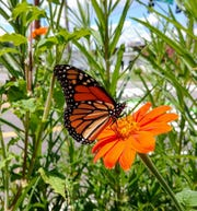 For years, Arthur has led the neighborhood's efforts to create habitats for butterflies and pollinators.