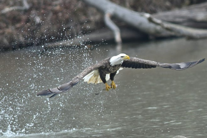 A bald eagle plucks a fish out of the Clear Fork Reservoir.