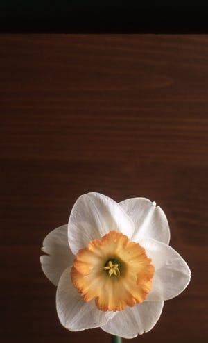 This large cup daffodil has a large flat cup with white petals. It has one flower to a stem.