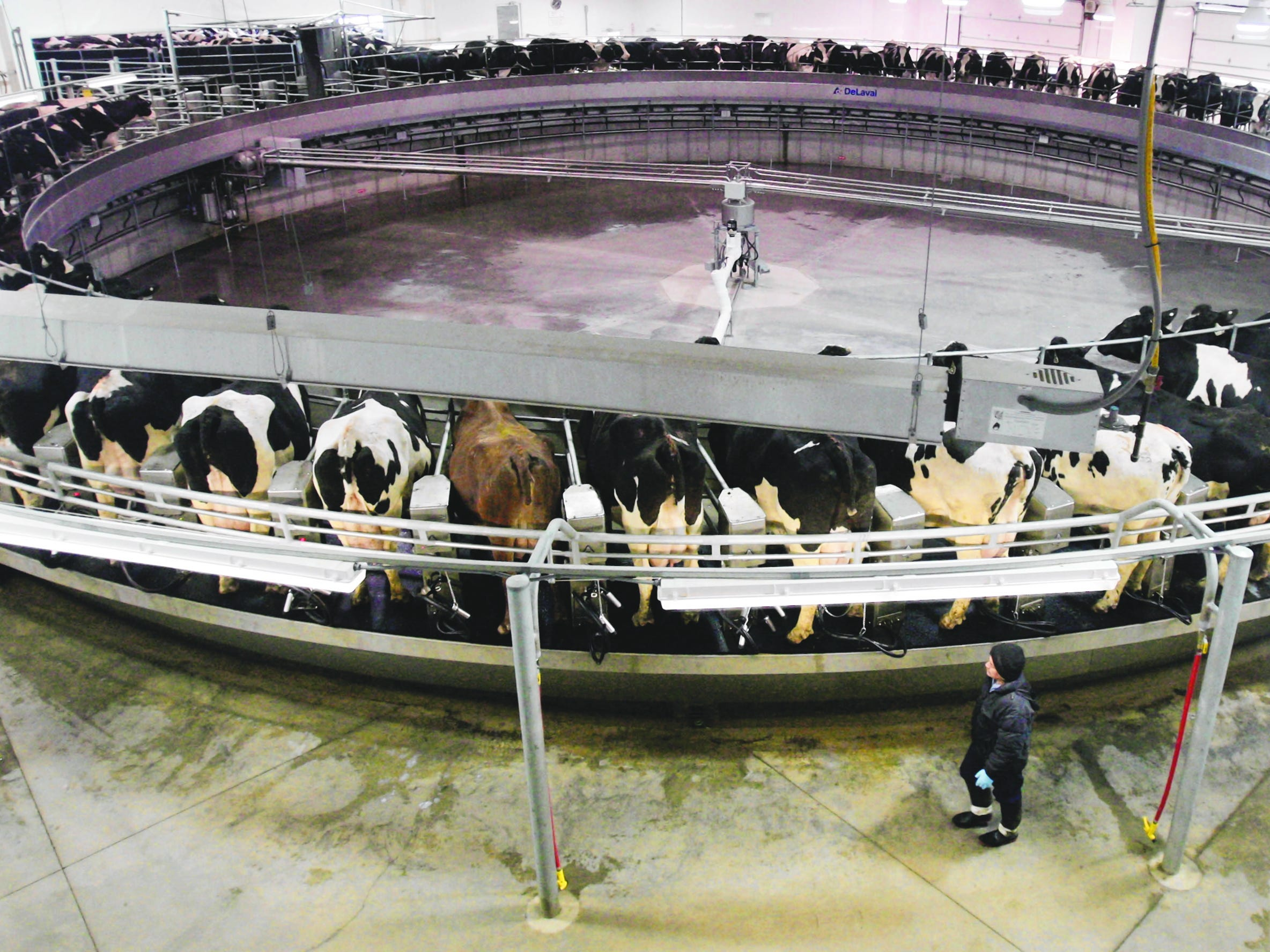 2009: At the Rosendale Dairy near Rosendale, it takes nine minutes for the cows to be milked on the $1 million 80-stall rotary milking parlor.