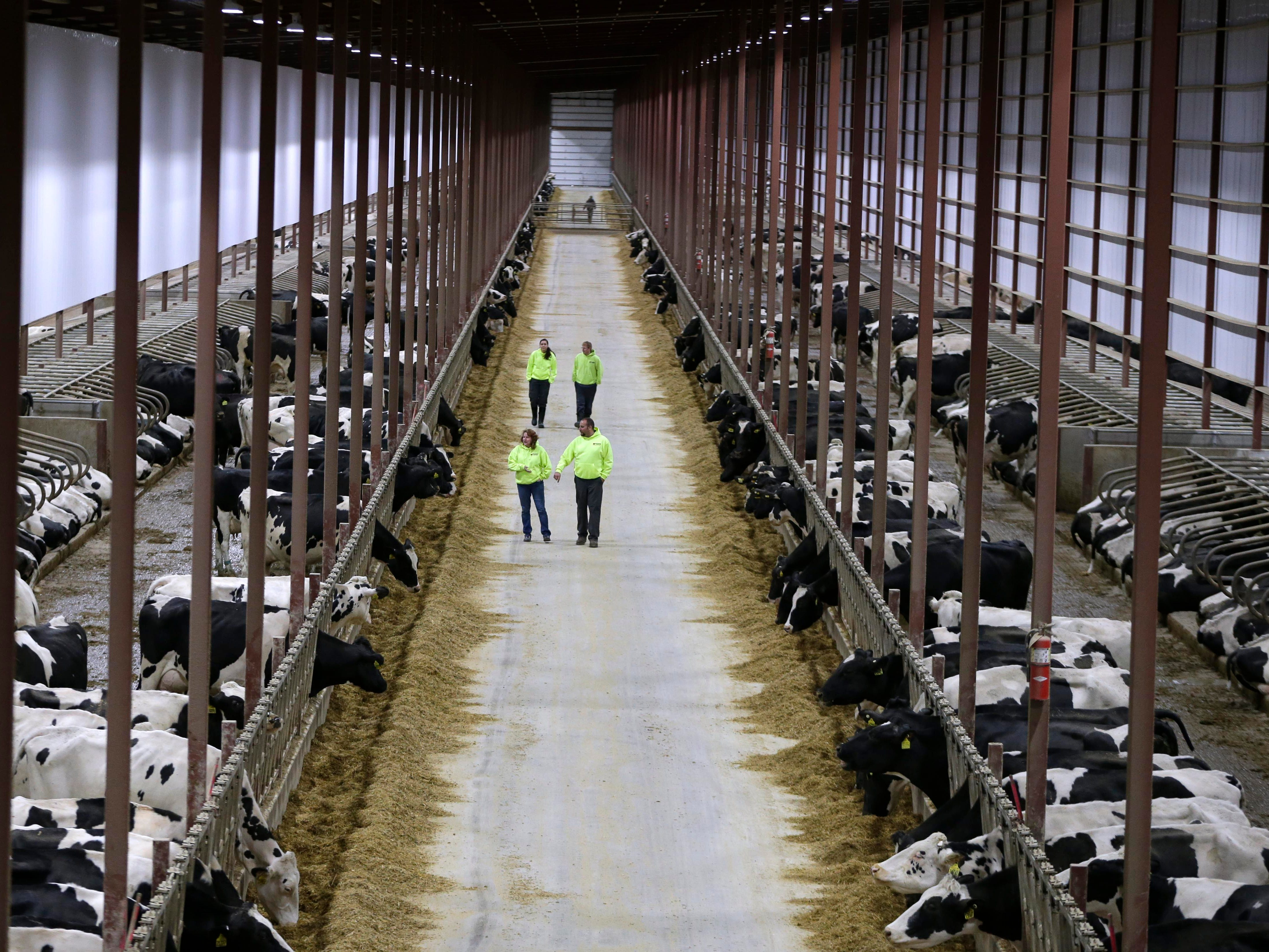 2017: CAFO (concentrated animal feeding operations) continue to grow. The Kinnard dairy farm operates long barns using a sand mixture for cow comfort and stability. Waste is collected in the center and dispersed to other farm lands throughout a 31-mile area. The farm milks more than 6,000 dairy cattle. Large-scale operations have been contributing to the demise of family farms across Wisconsin.