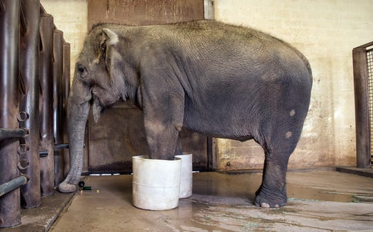 Sheena, an Asian elephant,  gets her toes soaked in the barn at the Phoenix Zoo,  March 20, 2019.  The zoo has three female Asian elephants - Indu, Sheena and Reba - and each are trained to stand in warm buckets of water for a daily soak.