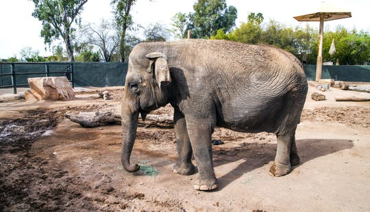 Indu, an Asian elephant, strolls around her enclosure at the Phoenix Zoo,  March 20, 2019.  The zoo has three female Asian elephants, Indu, Sheena and Reba.