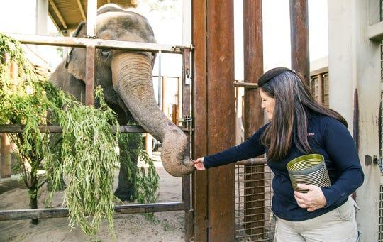 Heather Wright, head elephant keeper at the Phoenix Zoo, gives a treat to Reba, an Asian elephant, Wednesday morning, March 20, 2019.  The zoo has three female Asian elephants, Indu, Sheena and Reba.