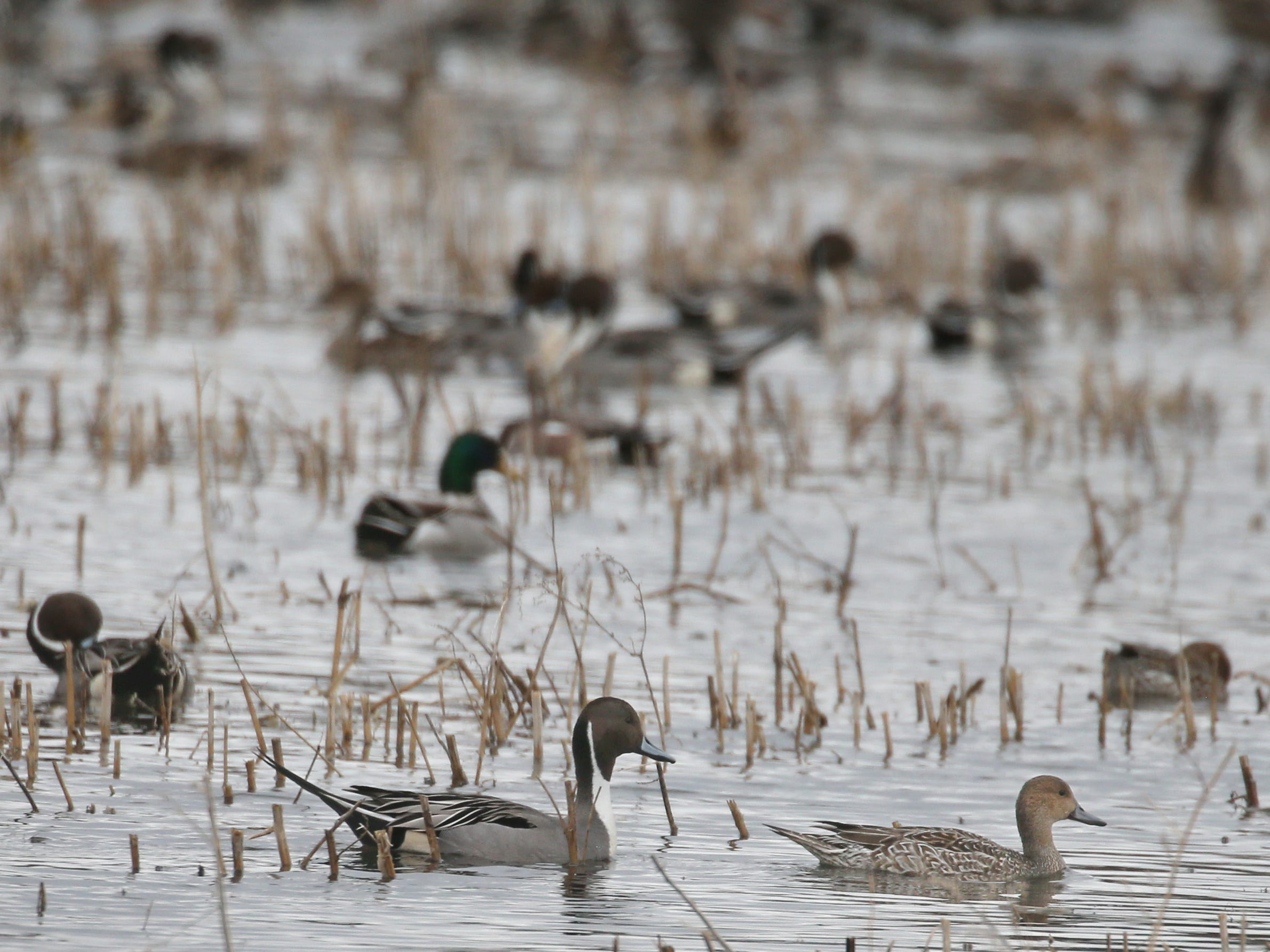 A large group of Northern Pintail ducks feed in a flooded farm field during the annual spring migration at the Montezuma Wetlands Complex in Savannah Thursday, March 21, 2019.