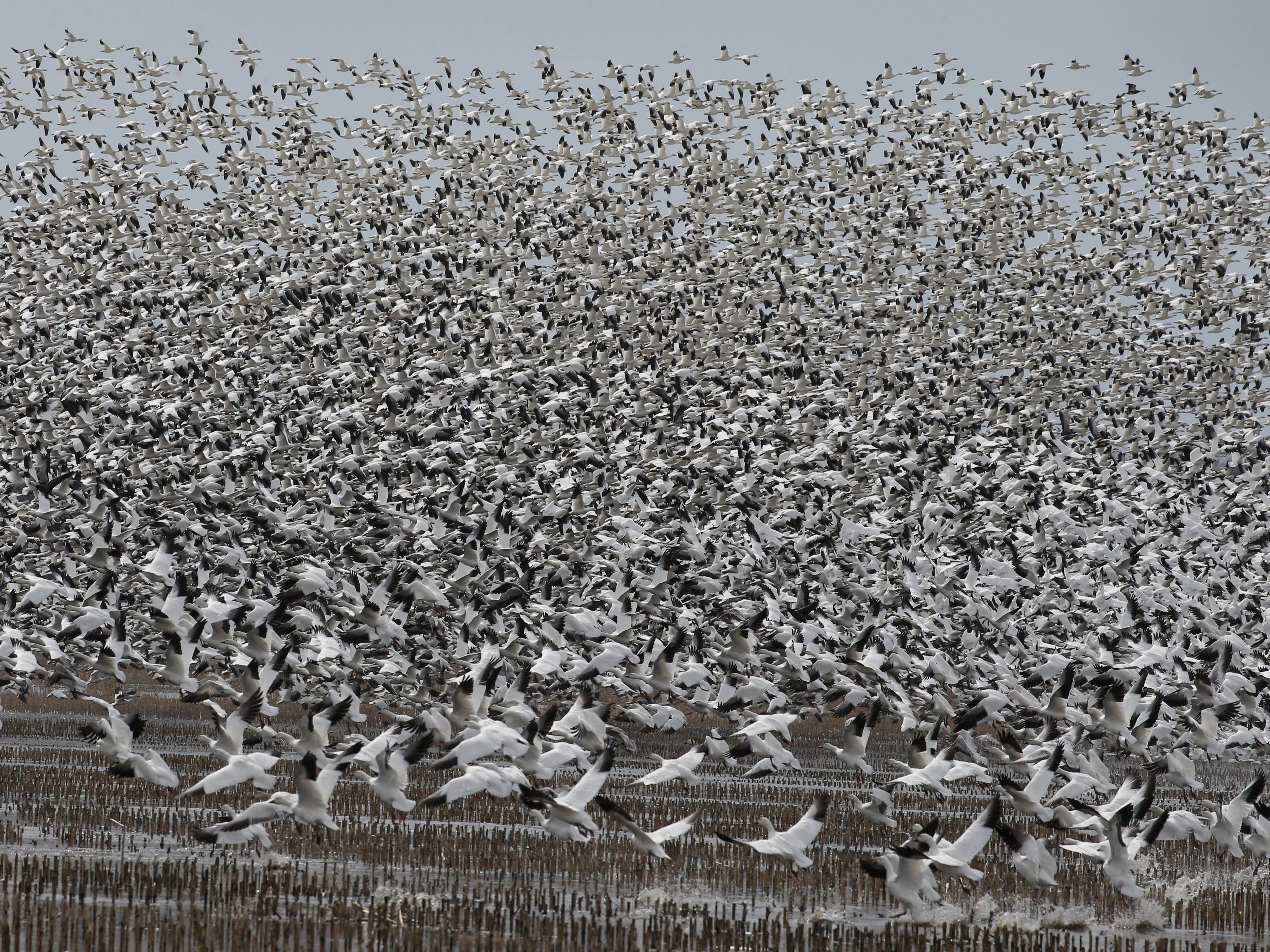 Snow Geese by the tens of thousands lift off then settle back down on a stretch of partially flooded farm land known as the 31 muck during the annual spring migration at the Montezuma Wetlands Complex along Route 31 outside of Savannah Thursday, March 21, 2019.  During a two week stretch, hundreds of thousands of the geese will migrate from their winter homes in the Chesapeake and Delaware bays, stopping in Montezuma for rest and food, before continuing on to their summer nesting home in the Hudson Bay region in the Canadian arctic.