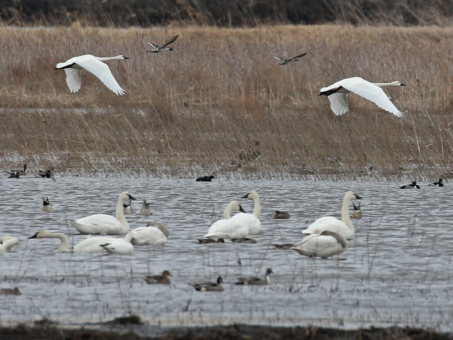 A pair of Tundra Swans take off from a flooded field outside Savannah Thursday, March 21, 2019.