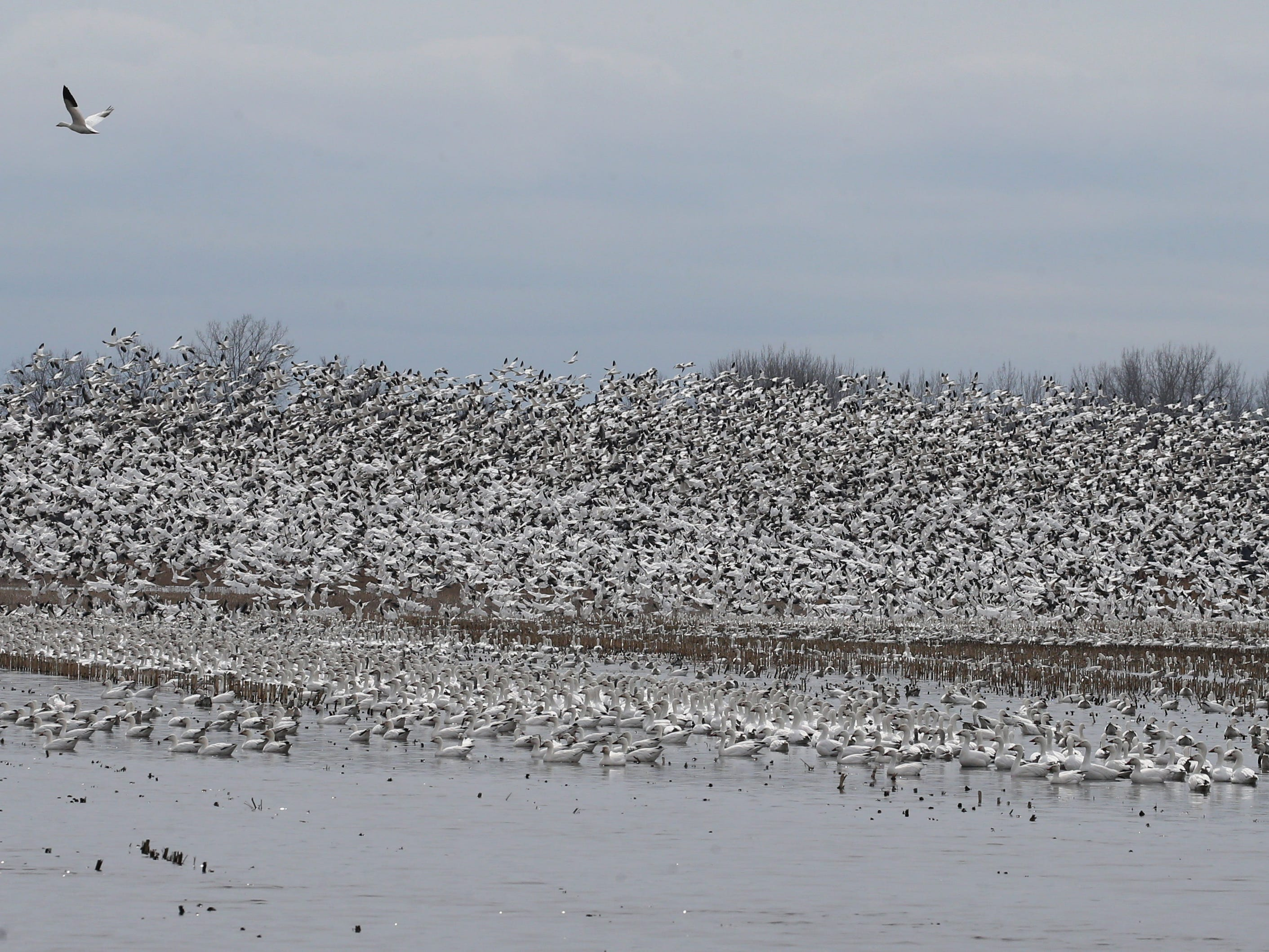Snow Geese by the tens of thousands lift off then settle back down on a stretch of partially flooded farm land known as the 31 muck during the annual spring migration at the Montezuma Wetlands Complex along Route 31 outside of Savannah Thursday, March 21, 2019.