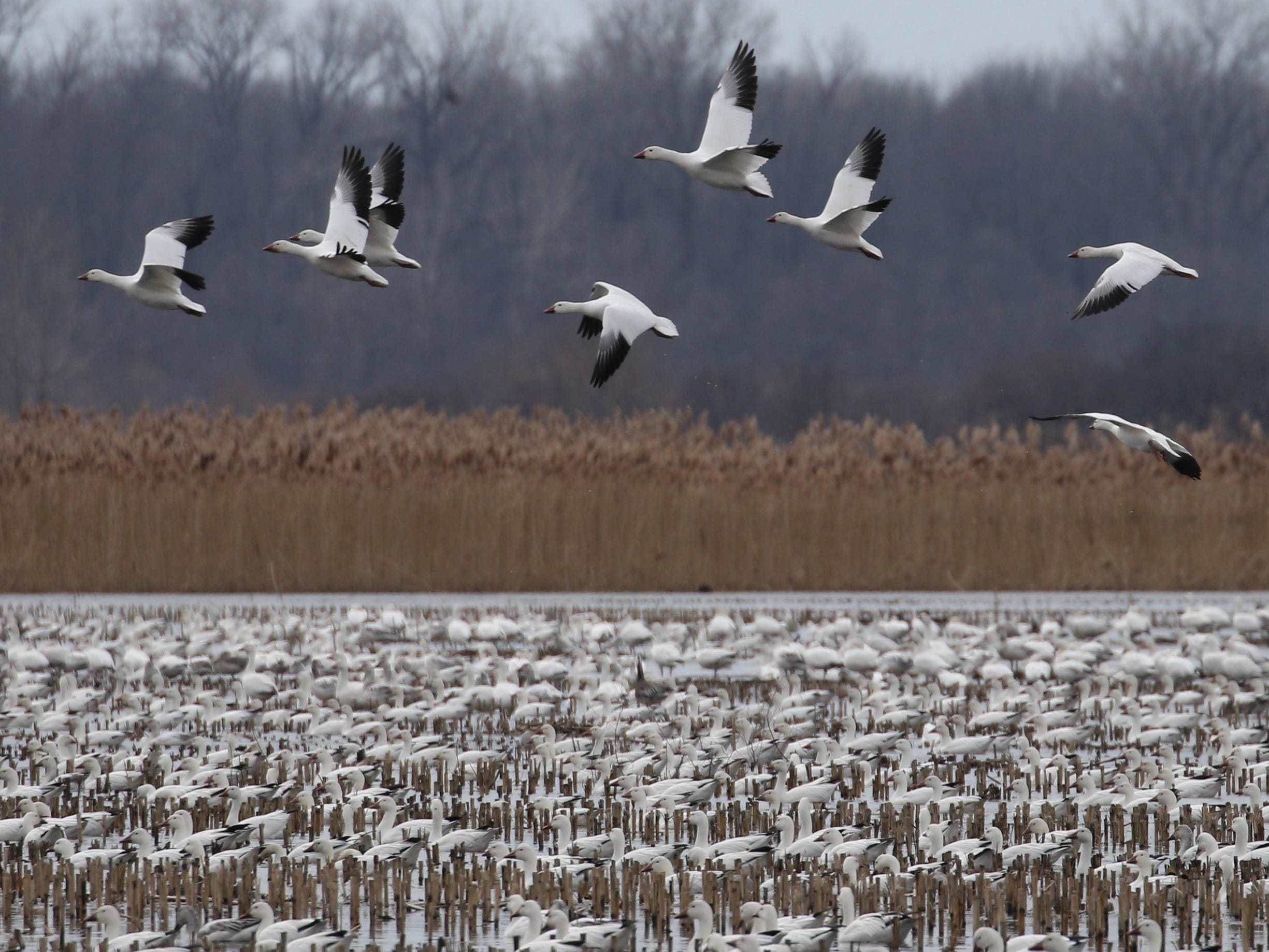 Snow Geese settle back down on a stretch of partially flooded farm land known as the 31 muck during the annual spring migration at the Montezuma Wetlands Complex along Route 31 outside of Savannah Thursday, March 21, 2019.