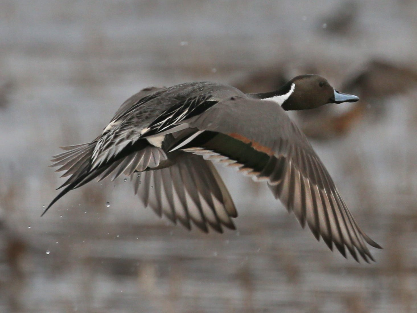 A Northern Pintail duck takes flight during the annual spring migration at the Montezuma Wetlands Complex in Savannah Thursday, March 21, 2019.  Thousands of Pintails, American Wigeons, Ring-necked ducks, Green-winged Teals and American black ducks are currently migrating through Montezuma on their way north.