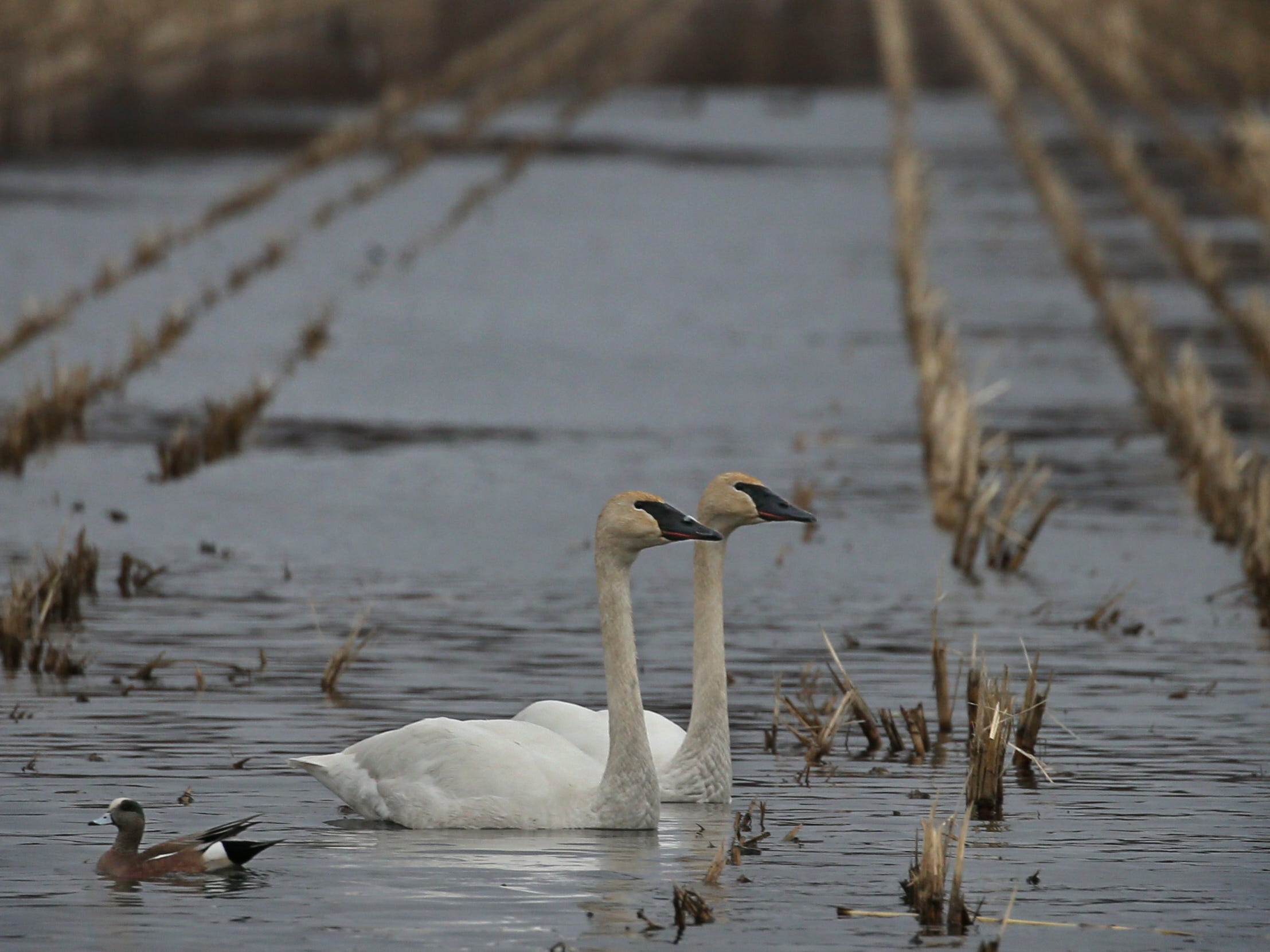 A pair of Trumpeter Swans, and a lone American Wigeon, look for food in a flooded corn field along Route 31 outside Savannah Thursday, March 21, 2019.  Hundreds of Trumpeter and Tundra Swans are joining with a approximately three dozen species of waterfowl in migrating north, using Montezuma as a stopover.