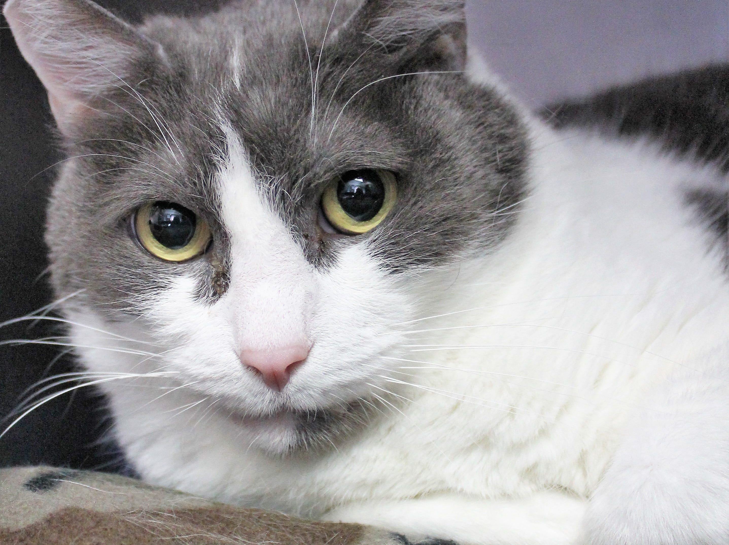Chandler is a 7-year-old domestic shorthaired male. He is cuddly and sweet with people he knows well, and he enjoys the company of other cats. Little people worry him, so Chandler hopes to be part of an adult-only home. To find out more, call Willamette Humane Society at 503-585-5900 or visit www.whs4pets.org.
