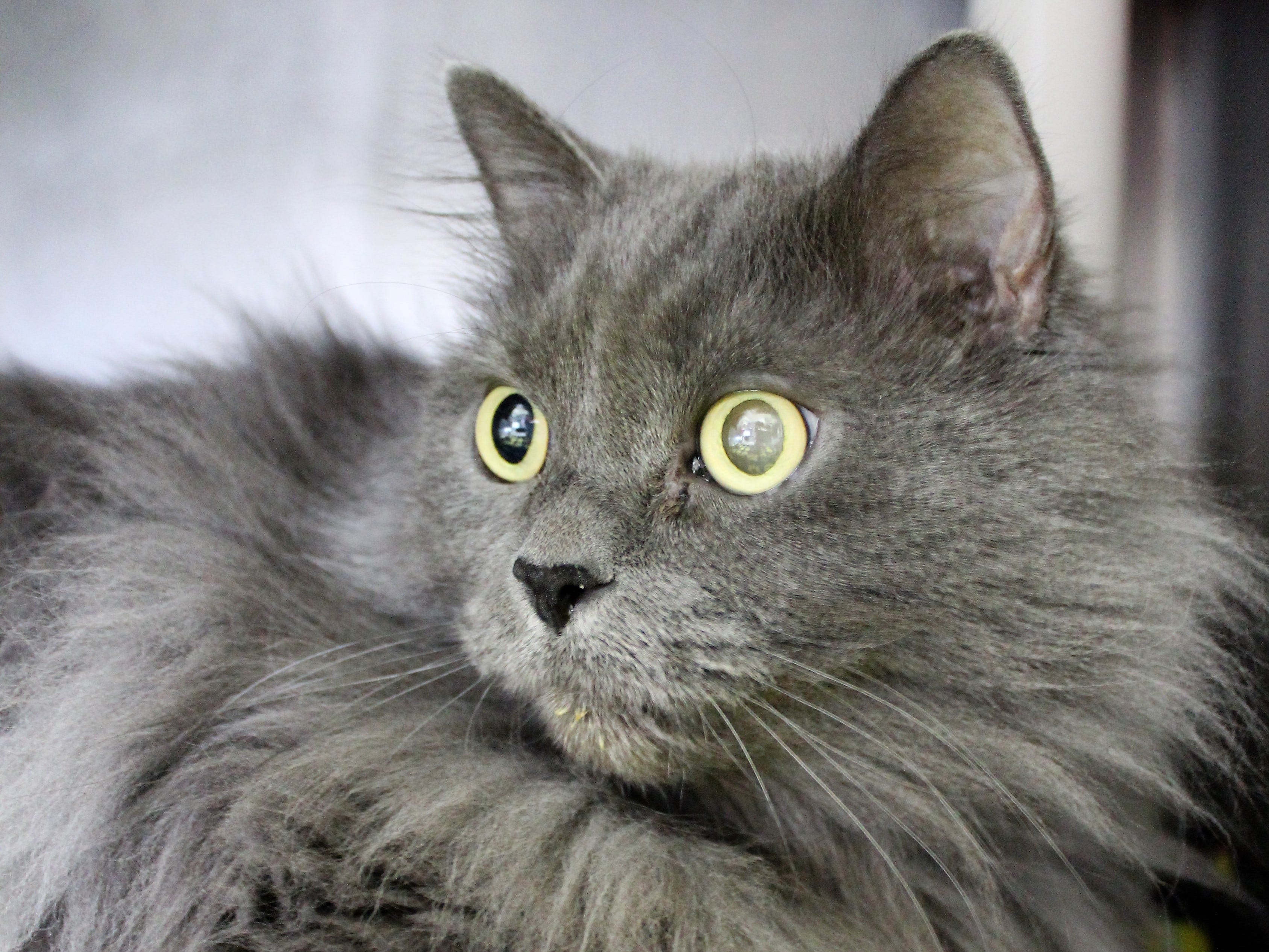 Rain is an 11-year-old longhaired female. She loves to be brushed, and gives sweet kisses to the people she really loves. Rain has been the only pet for all of her life, and she really dislikes dogs. To find out more, call Willamette Humane Society at 503-585-5900 or visit www.whs4pets.org.