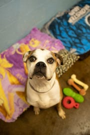 Sheldon is just one of the dogs whose lives have been saved by C.A.R.E. and are available for adoption to a forever family. The Red CAREpet Gala on April 25 will kick off a capital campaign for the new C.A.R.E. Pet Services Center.