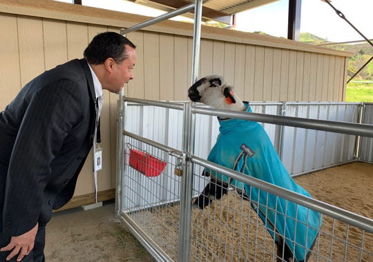 Ed Cora, Santa Paula Unified School superintendent, talks to Maverick, the sheep, at the district's new ag center. The district is hosting a ribbon cutting Saturday.