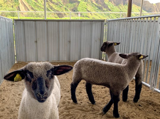 Sheep belonging to Santa Paula High School students have a new home at the Santa Paula Unified School District Agricultural Center.