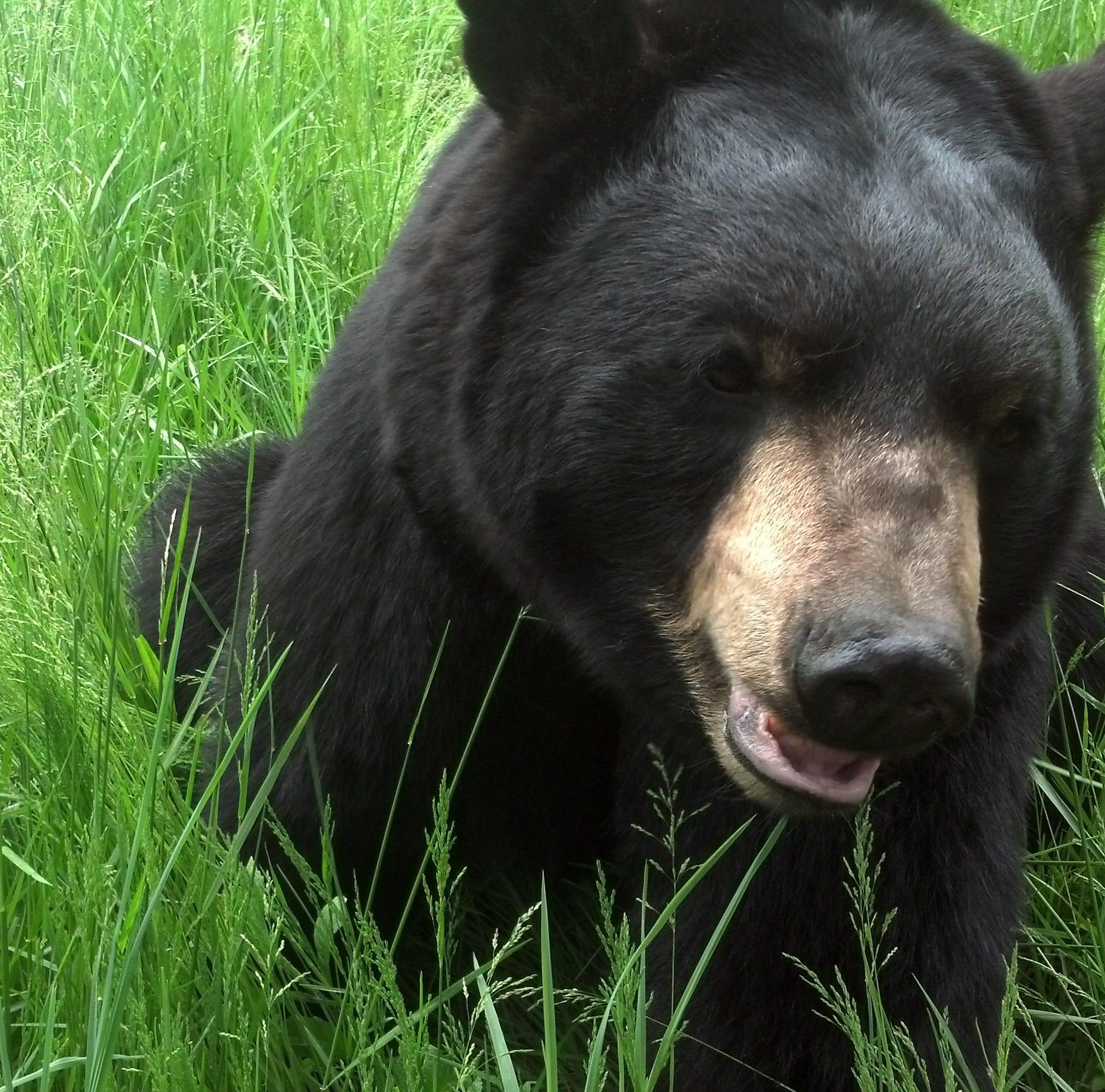 Nature Center Notes: WNC's favorite furry neighbor, the black bear