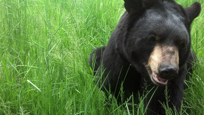 Uno is one of the resident black bears at WNC Nature Center in Asheville.