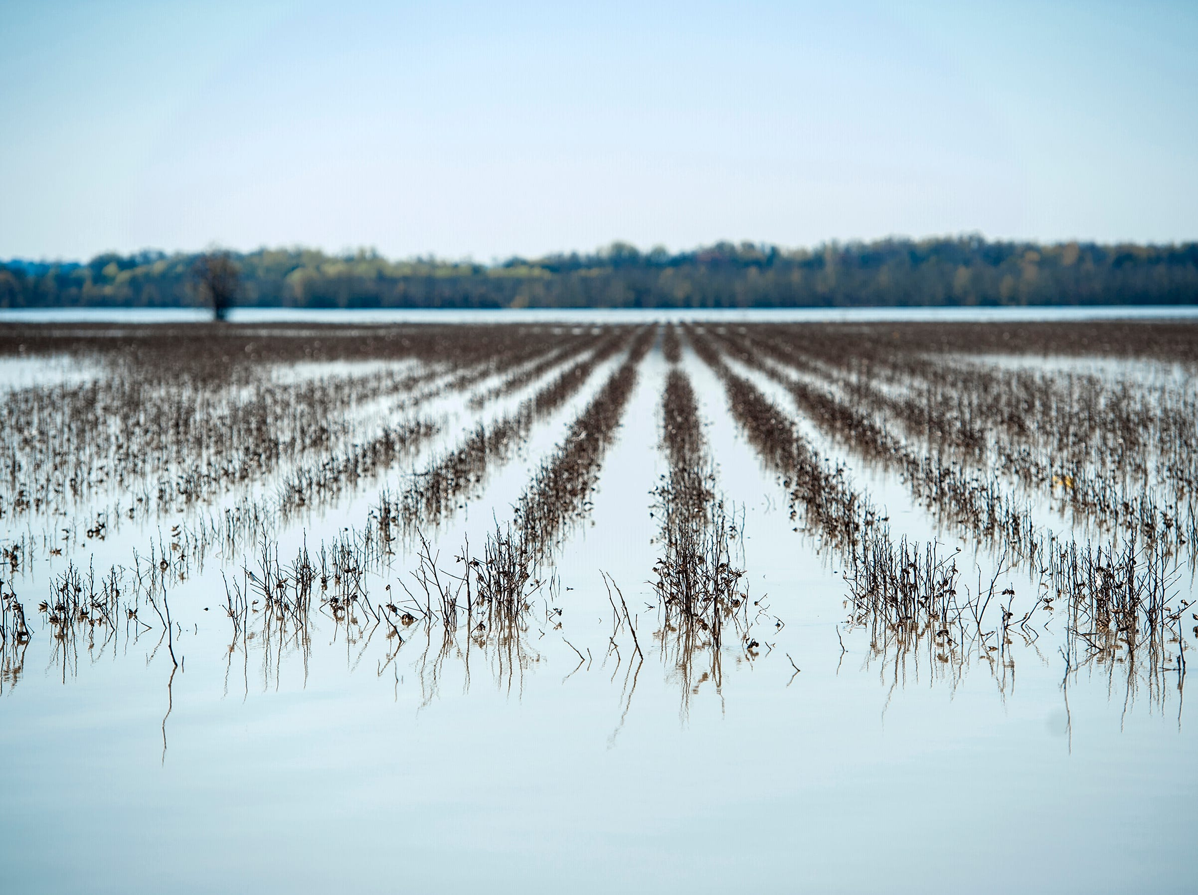 The tips of cotton plants poking from above the water are the only indication that what appears to be a lake is a farmer's field blanketed by flood waters along Floweree Road in Redwood.