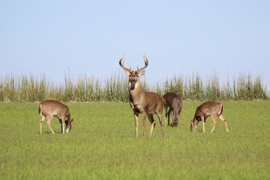 Wildlife displaced by flooding, especially deer, will return to their home areas once the water recedes.