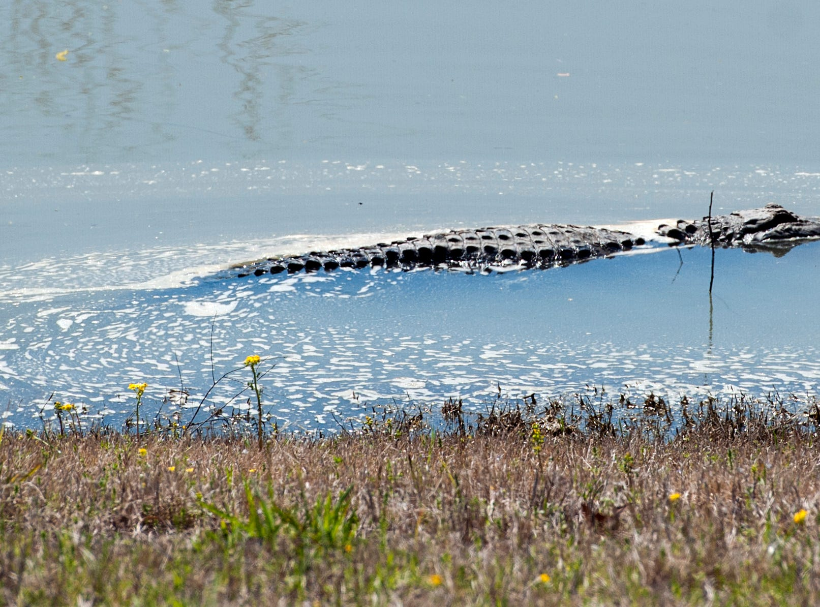 Startled by a passing vehicle, an alligator moves into the water after sunning himself in the grass along the waters edge at the levee heading to Eagle Lake. As flood levels rise, alligators follow the water's edge.