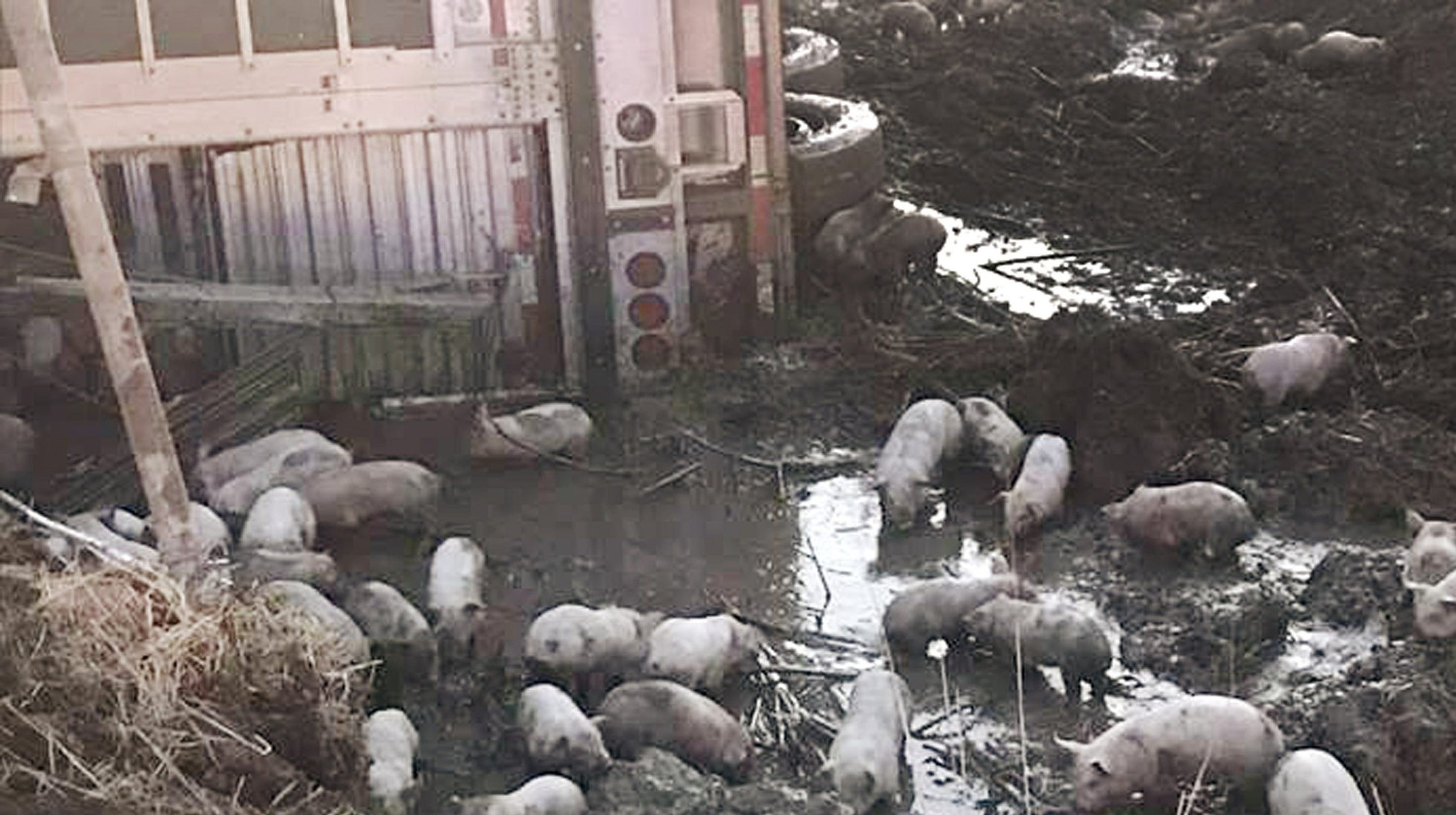 Truck crash sets 3,000 piglets loose on Illinois highway, killing about 100 of them
