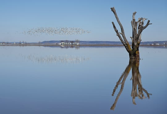 A flock of snow geese fly over flooded fields outside Sidney on Friday, March 22, 2019.