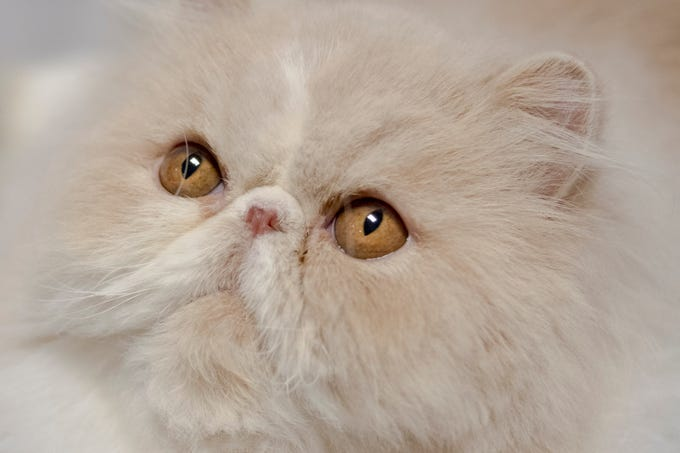 Locked and Loaded, a Shevelle Persian, at 42nd annual Tennessee Valley Cat Fanciers Show at the Jacob Building in Chilhowee Park in Knoxville, Tennessee on Sunday, March 24, 2019.