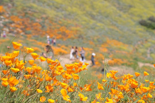 The poppy flower bloom has brought thousands of visitors to Walker Canyon in Lake Elsinore, Calif., March 23, 2019.
