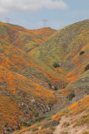 Orange poppies color the sides of Walker Canyon in Lake Elsinore, Calif., March 23, 2019.