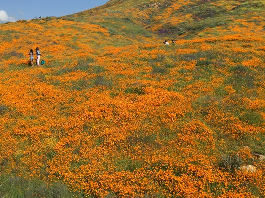 This photo shows poppies that are attracting visitors to Walker Canyon in Lake Elsinore. Most visitors stuck to trails, but others tried to get closer to the flowers.