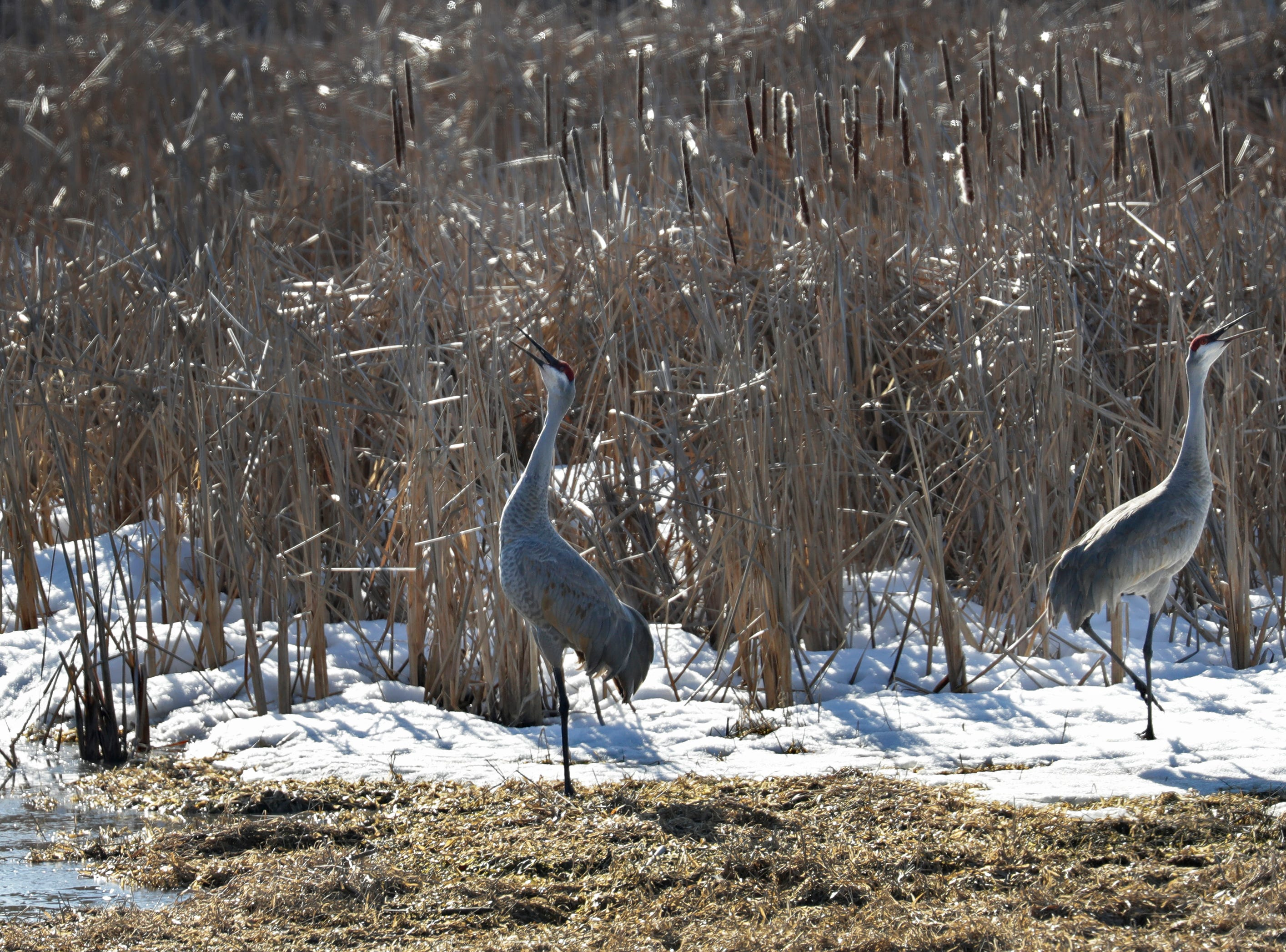 Sandhill cranes make loud bugling sounds near Butte Des Morts Beach Road Tuesday, March 19, 2019, in Fox Crossing, Wis. Dan Powers/USA TODAY NETWORK-Wisconsin