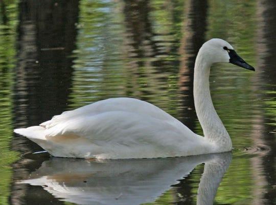 Trundra swan