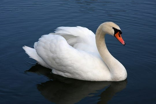 A mute swan in busking posture.