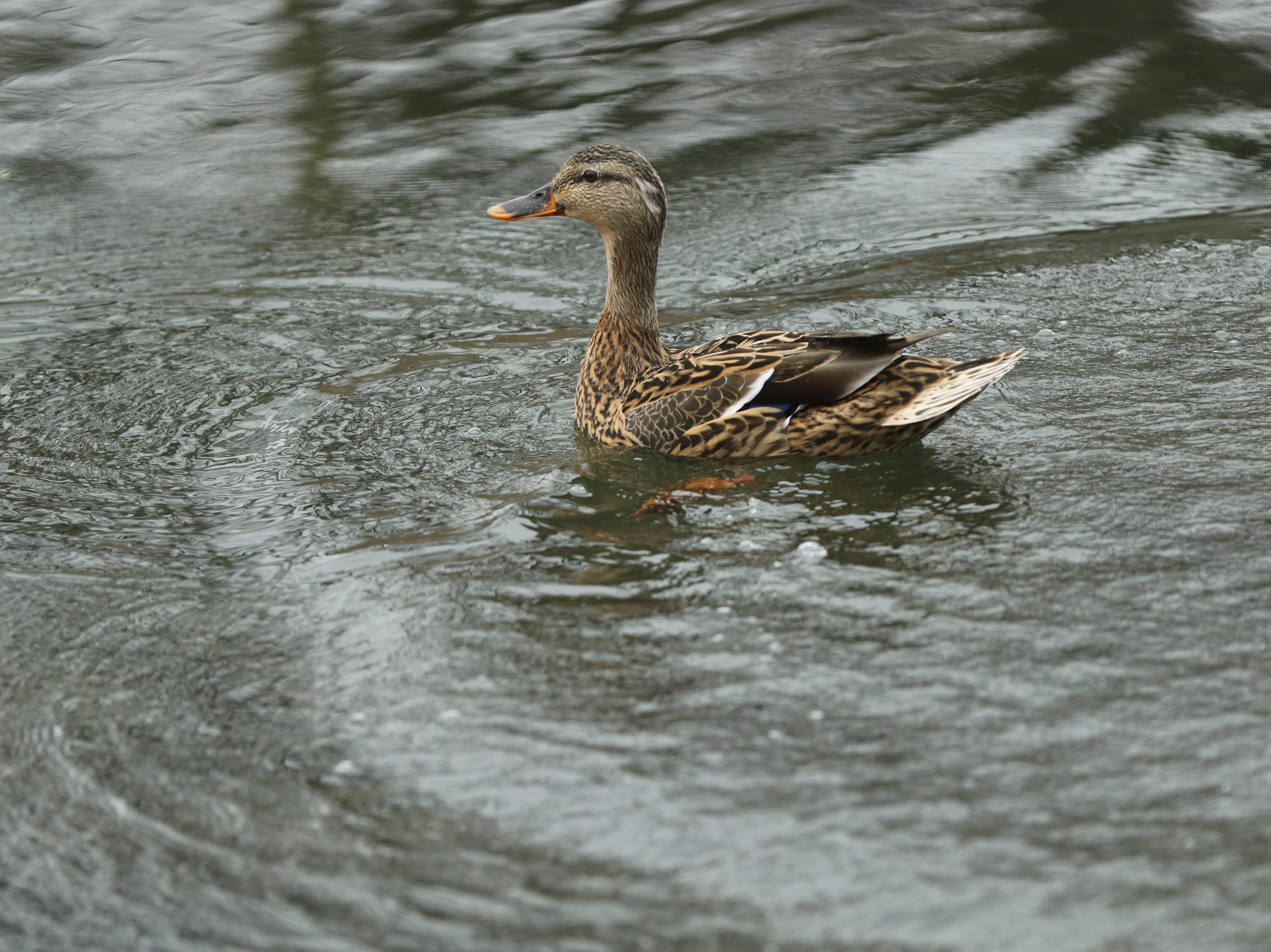 A duck is shown at Third Ward Park, in Passaic, Monday, March 25, 2019.