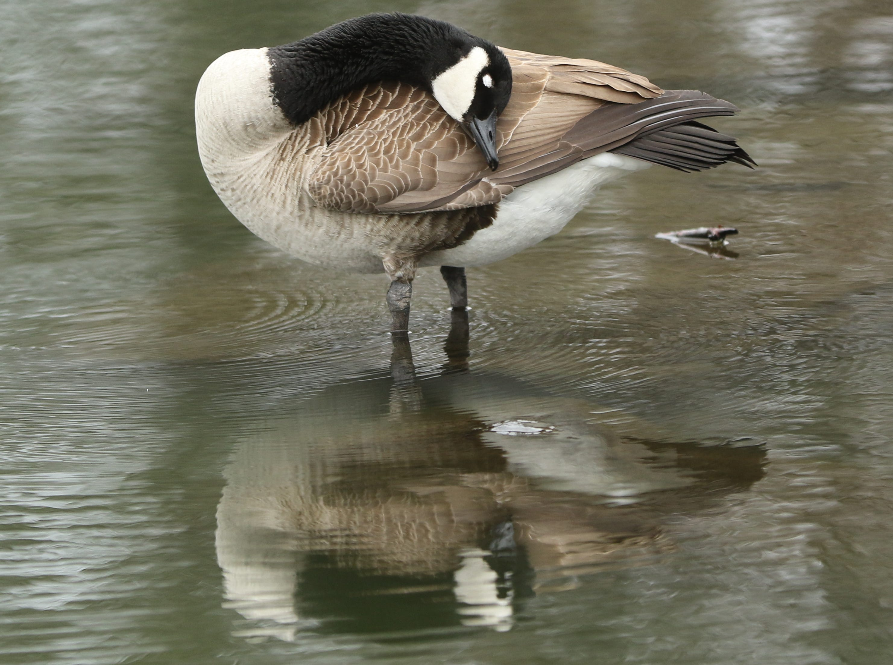 A Canada goose is shown at Third Ward Park, in Passaic, Monday, March 25, 2019