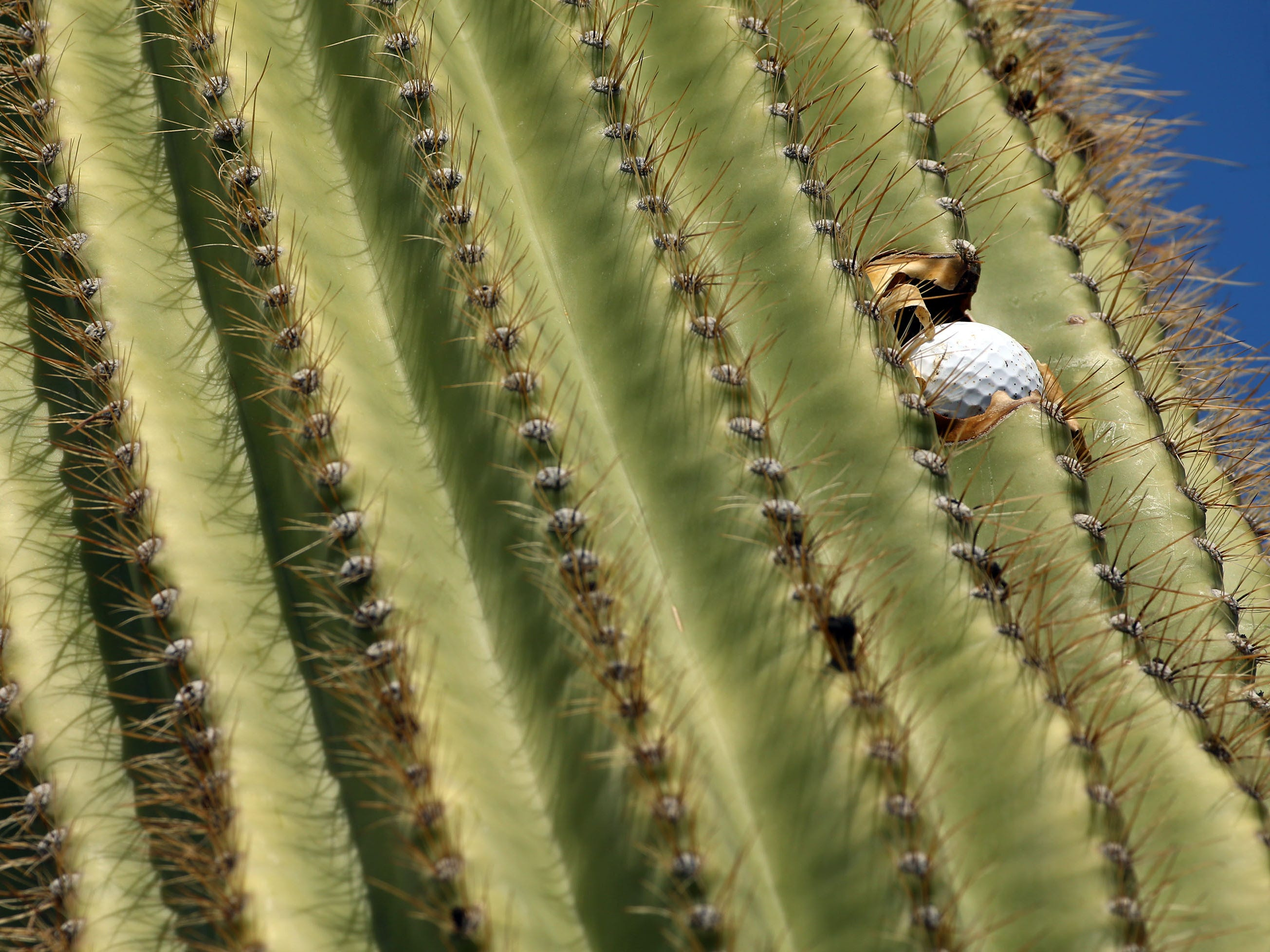 A golf ball is embedded in a saguaro cactus on the second hole at the Bank of Hope Founders Cup on Mar. 24, 2019 at Wildfire Golf Club at JW Marriott in Phoenix, Ariz.