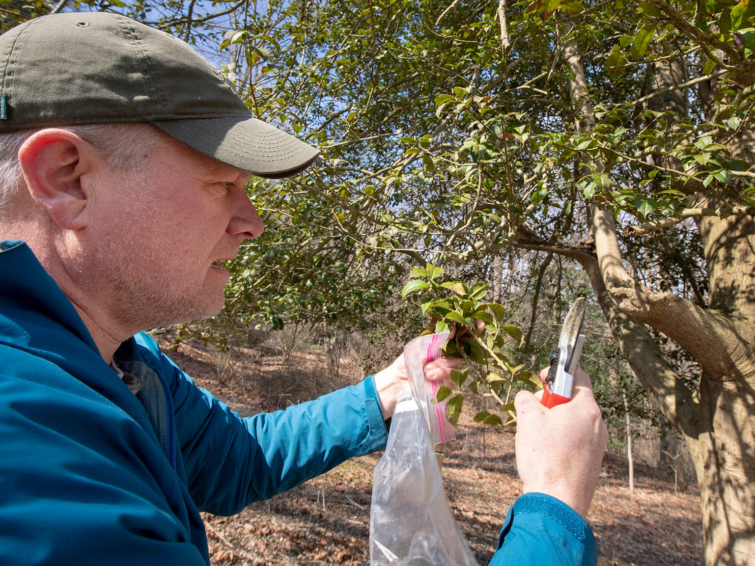 Scott Wade, an arborist from Longwood Gardens, takes a cutting of the American holly tree, believed to be 350 years old. He hopes to root the tree for a collection of famous Pennsylvania trees. The tree is part of the Indian Steps Museum along the Susquehanna River in Lower Chanceford Township.