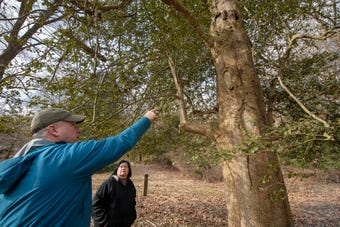 Scott Wade, a certified arborist with Longwood gardens, gives advice for changing 350 year old holly tree at Indian Steps Museum