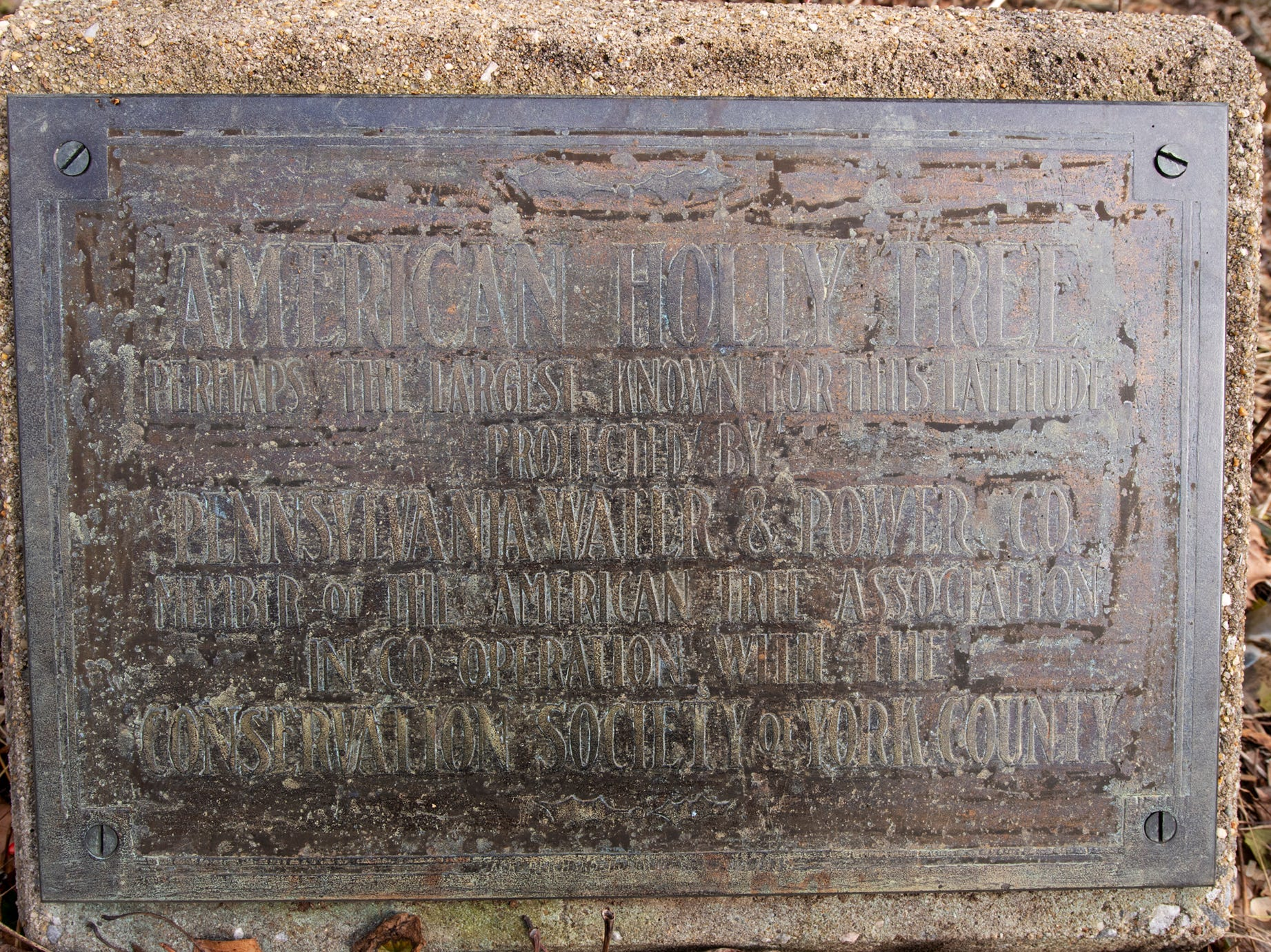 """A weathered sign beneath the American holly tree says, """"perhaps the largest known for this altitude."""" The tree, believed to be 350 years old, is part of the Indian Steps Museum along the Susquehanna River in Lower Chanceford Township."""