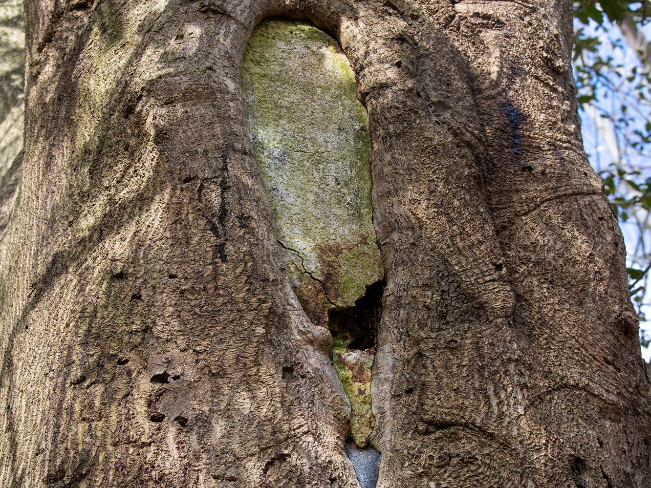 At some point, decades ago, the American holly tree was filled with cement to deal with its hollowing trunk. Certified arborist Scott Wade said the damage to the tree probably began when a branch peeled away. The American holly tree, believed to be 350 years old, is part of the Indian Steps Museum along the Susquehanna River in Lower Chanceford Township.