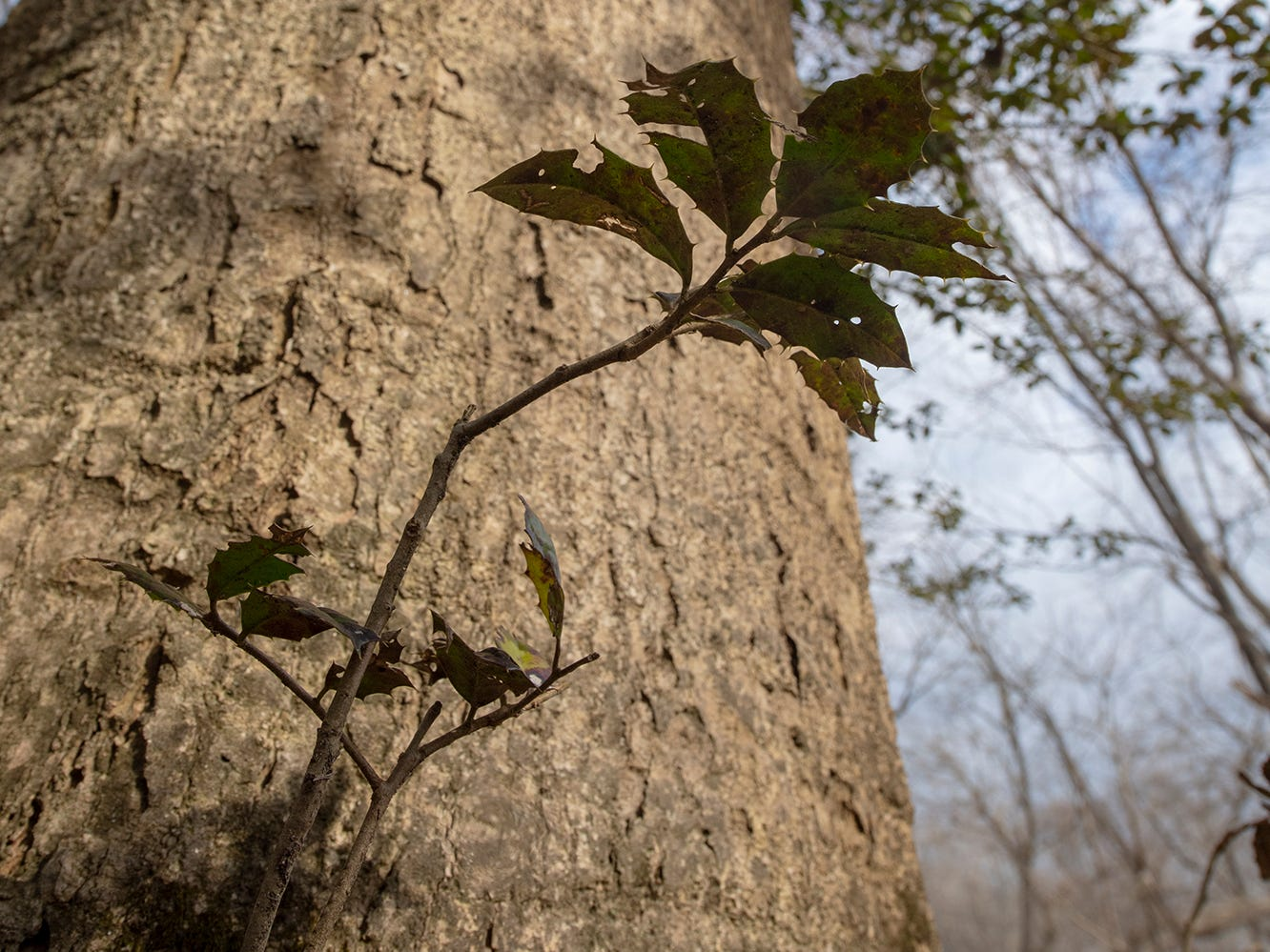A new shoot pushes out of the base of the the American holly tree. The tree, believed to be 350 years old, is part of the Indian Steps Museum along the Susquehanna River in Lower Chanceford Township.