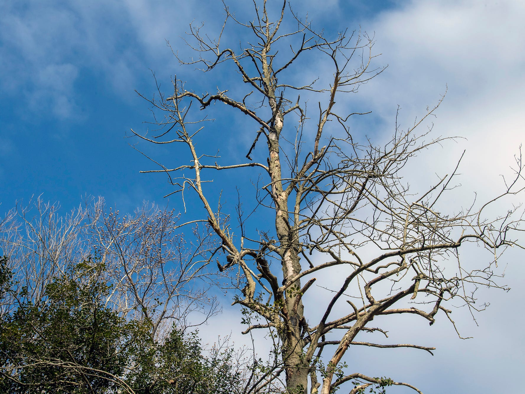Part of the American Holly tree is dead. Certified arborist Scott Wade said that the tree could live on for many years, sprouting new shoots. The American holly tree, believed to be 350 years old, is part of the Indian Steps Museum along the Susquehanna River in Lower Chanceford Township.