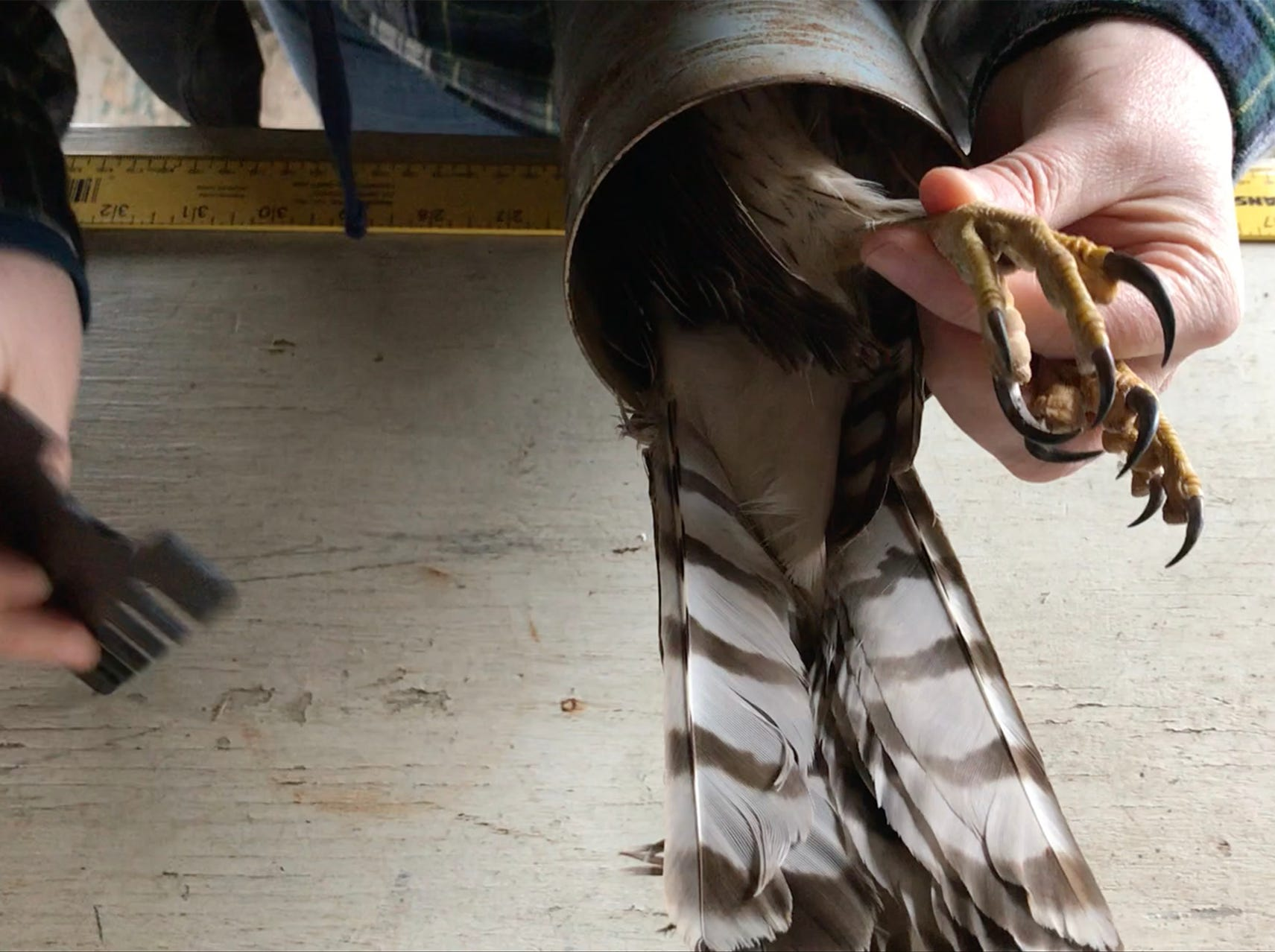 The legs of the juvenile Cooper's Hawk are measured to see what size band is needed.
